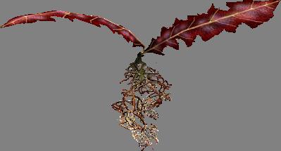 Алый корень Нирна Skyrim